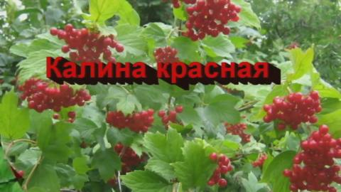 Фестиваль Калина красная